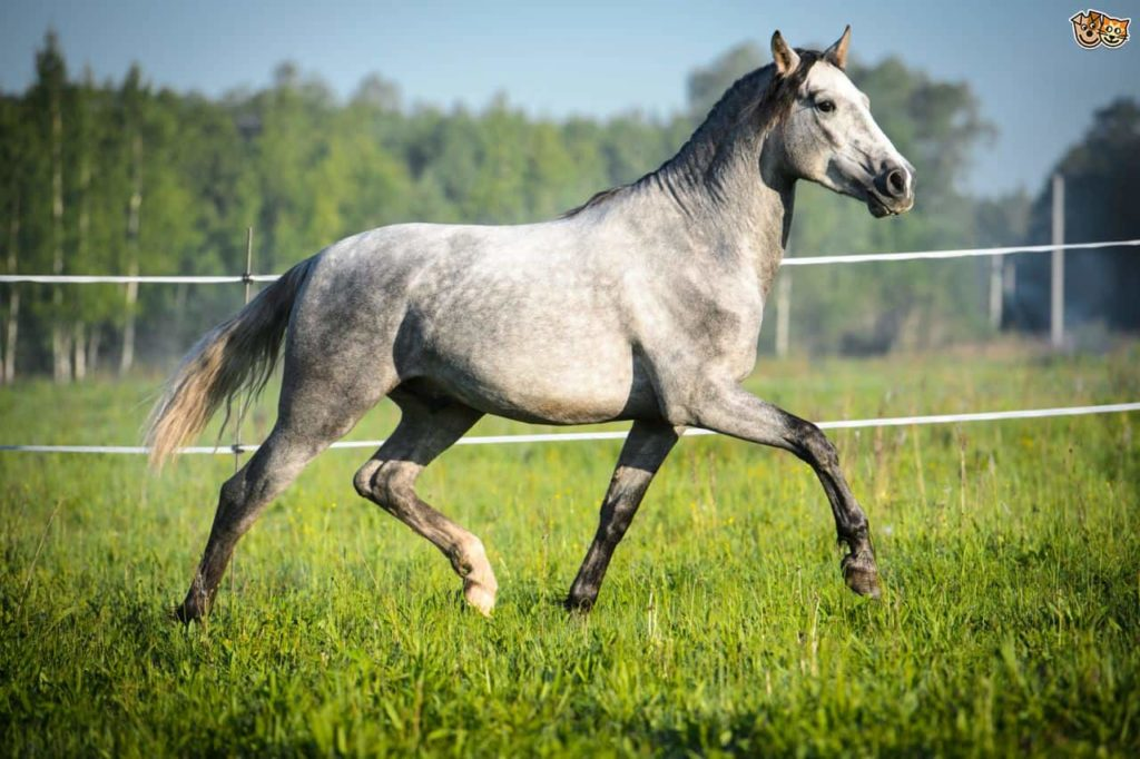 Top 10 Most Expensive Horse Breeds Market Price Pickytop